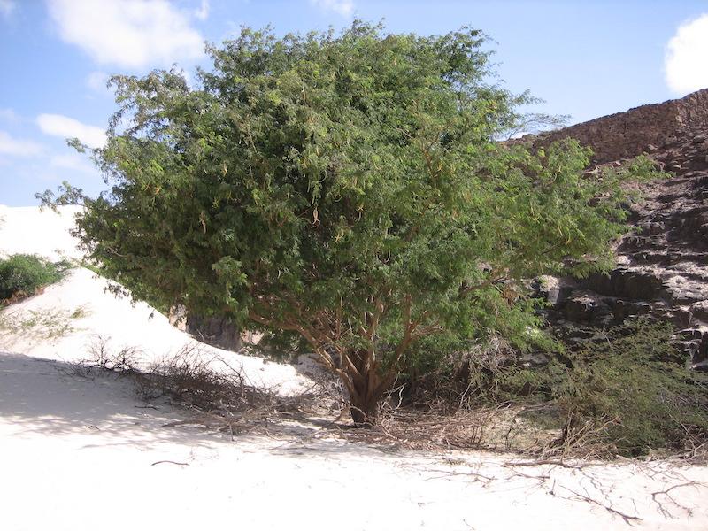alberi di Boavista