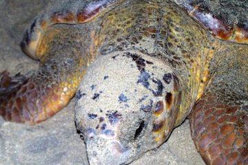 Tartarughe Marine Capoverde