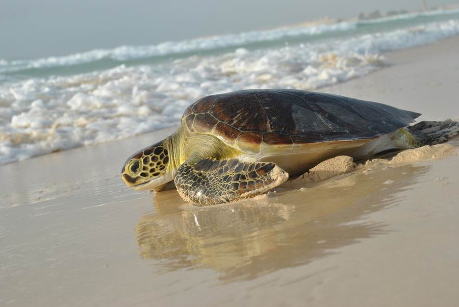 Tartarughe marine capoverde for Deposizione uova tartarughe terrestri