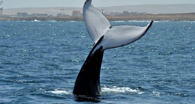 Escursioni osservazione Balene Boavista Capoverde
