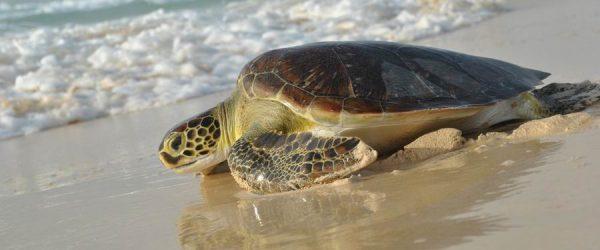 escursione tartarughe capo verde Boavista