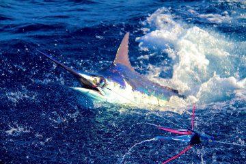 pesca al marlin capo verde Boavista